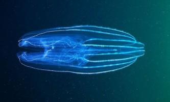 Морські гребневики ставлять під сумнів традиційну теорію еволюції