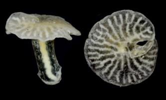 Морські гриби можуть стати новою гілкою на дереві життя