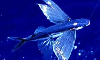 Морські летючі риби