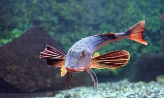 Морські півні - риби, які вміють «кукурікати»
