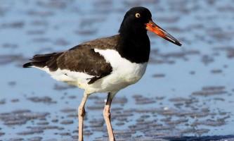 Морські птахи демонструють зозулясті манери