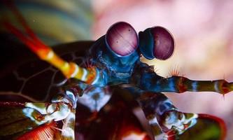 Морські ракоподібні із загону ротоногих влаштовують ритуальні бої і вважають окуляри