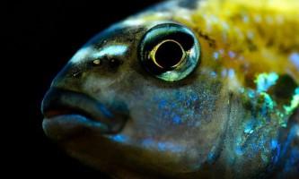 Морські риби завдяки «камуфляжу» стають невидимими в океані