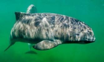 Морські свині використовують звукові ліхтарики під час полювання