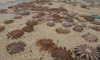 Морські зірки стали жертвами власної жадібності
