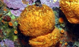 Морський апельсин: «цитрус» на морському дні