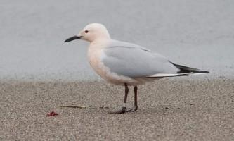Морський голубок - витончений володар небес