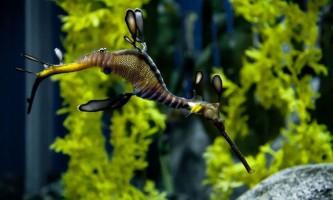 Морський коник ганчірників