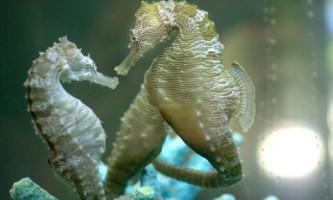 Морський коник (лат. Hippocampus)