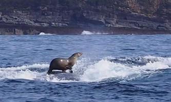 Морський котик покатався верхи на горбатому кита: фото, підкорило інтернет