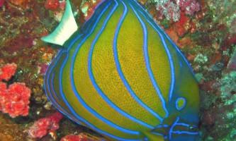 Морський красень риба-ангел - помакантус (pomacanthus)