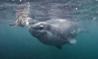 Морський леопард - кровожерлива створення