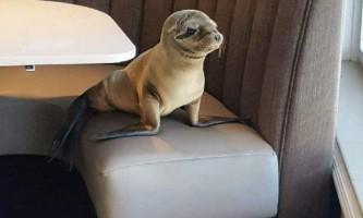 Морський лев оселився в ресторані сан дієго