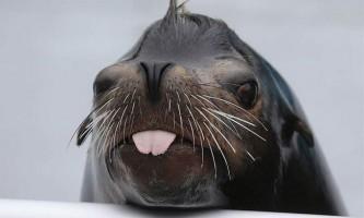 Морський лев позасмагав на шезлонгу: відео, зняте на пляжі, підкорило інтернет