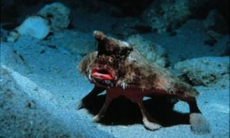 Морський нетопир (ogcocephalus)