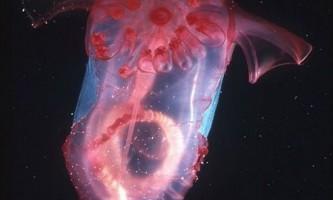 Морський огірок (and enypniastes eximia або pelagic sea cucumber)
