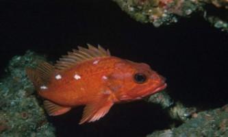Морський окунь: опис, цікаві відомості про рибу