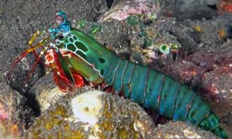 Морський рак-богомол (odontodactylus scyllarus)