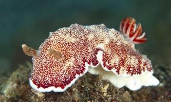 Морський слимак може відкидати свій пеніс і відрощувати новий