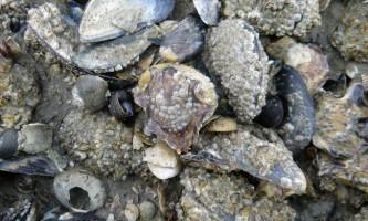 Морський жолудь: нетиповий рак