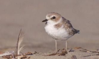 Пісочник морський - що це за птах?