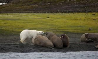 Морж і білий ведмідь: взаємини двох «сіверян»