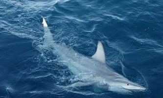 Вчені виявили близько 57 акул-гібридів біля берегів австралії