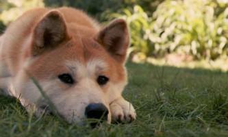Москвичка три місяці тримала собаку породи акіта-іну замкненою на балконі