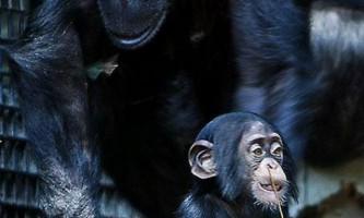 Шимпанзе мають майже ті ж риси особистості, що і людина