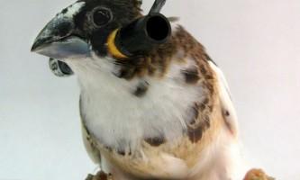 Мозок птахів визначає дрібні вокальні помилки, але не сприймає великих