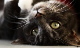 Чи можна стерилізувати кішку під час тічки