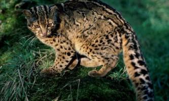 Мармурова кішка: де живе дика красуня?