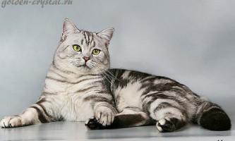 Мармуровий таббі забарвлення британських кішок