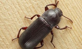Борошняні жуки мають високорозвиненим механізмом для рахунку