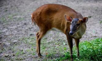 Мунтжаки - одні з найдавніших оленів на планеті