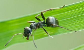 Мурахи лікуються від грибкової інфекції отрутою