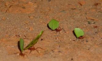 Мурахи-листорізи - садівники-любителі