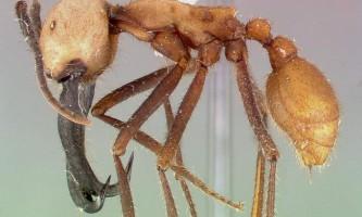 Мурахи солдати: комахи, веселощі жах