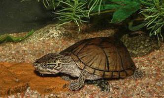 Мускусні черепахи (sternotherus odoratus) дихають під водою через мову