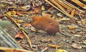 Мускусний щурячий кенгуру: зовнішні ознаки, місця проживання сумчастого