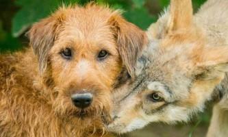 Вовки виявилися набагато азартніше собак