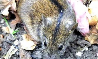 Миша польова: фото маленького гризуна
