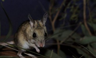 Миші виявилися улюбленими ласощами австралійських сомів