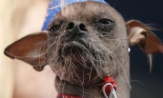 Найпотворнішого пса в світі нагородили за героїзм