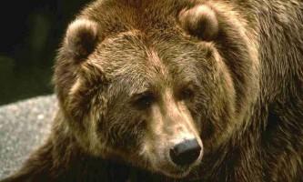 На депутата лдпр напав ведмідь