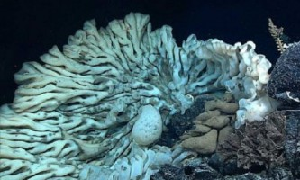 На дні тихого океану виявлена величезна губка