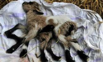 На фермі народився козеня-гермафродит з вісьмома ногами