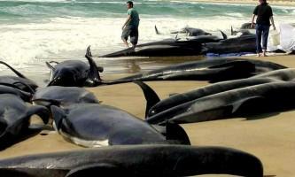 На індійський берег викинулися понад сто дельфінів-гринд