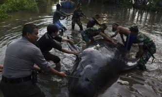 На індонезійська берег викинулися кілька десятків китів
