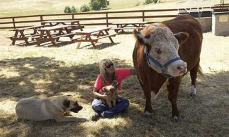 На каліфорнійській фермі живе корова, переконана в тому, що вона - собака